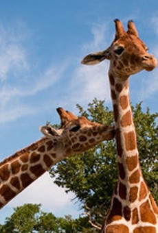 Adorable Twin Giraffes Celebrate First Birthday