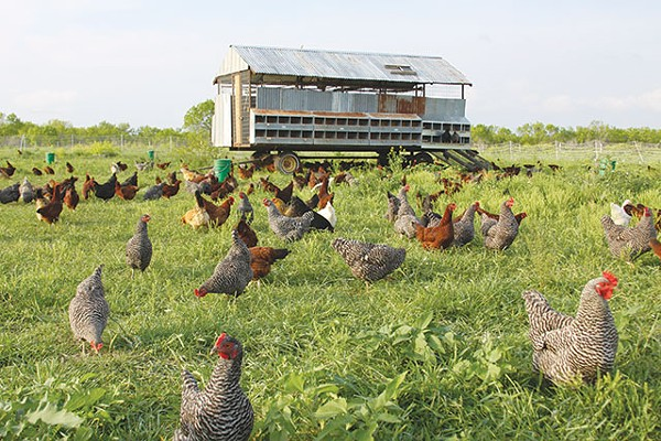 Chickens roam the pastures at Parker Creek Ranch - COURTESY PHOTO