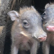 Cute Baby Warthogs Piglets Debut At San Antonio Zoo