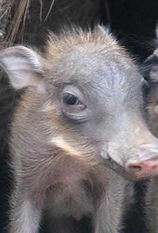 Cute Baby Warthogs Piglets Debut At San Antonio Zoo