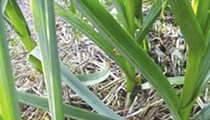 Garlic breadth
