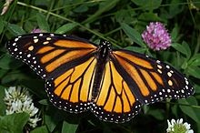 WIKIPEDIA.ORG - Learn all about Monarch butterflies at the Cibolo Nature Center & Farm in Boerne.