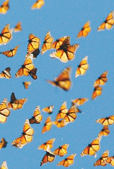 Monarch Migration: King of Butterflies to Arrive in South Texas