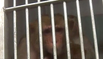 Humane Society To USDA: Stop Monkey Business At Labs And Roadside Zoos