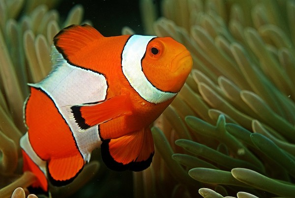 "Ocean acidification is transforming clown fish into ""dumb packs."" The consequences of rising CO2 levels in the oceans topped Project Censored's annual lists of underreported stories. - WIKIMEDIA COMMONS"