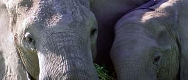 news-elephants_330jpg