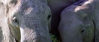 news-elephants_330jpg