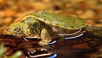 RIP Thelma and Louise: SA Zoo's Two-Headed Turtle Passes Away