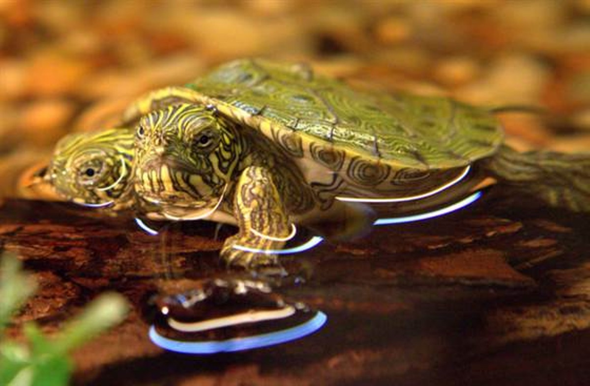 Rip Thelma And Louise Sa Zoos Two Headed Turtle Passes Away The
