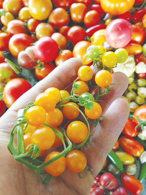 Tiny tomatoes from the Hot Wells garden - JUSTIN PARR