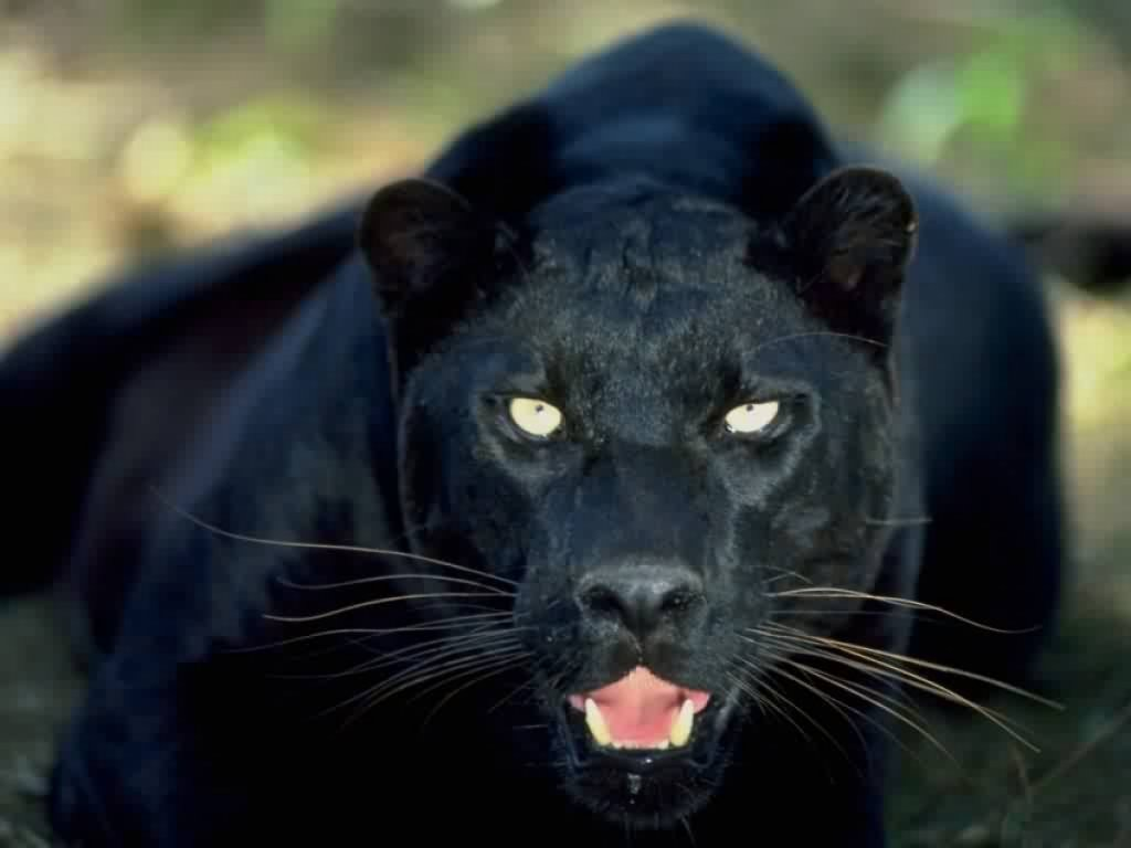 Tracking The Carrabelle Cat Floridas Black Panther Mystery The Daily