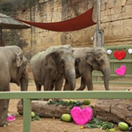 San Antonio Zoo's Asian Elephant Lucky Celebrated Her 60th Birthday in Style on Sunday