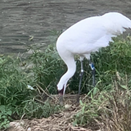San Antonio Zoo Whooping Crane Laid a Very Special Easter Egg on Sunday