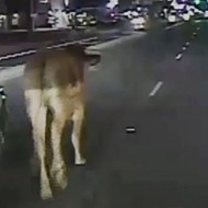 Video: Errant San Antonio Cow Makes National News