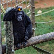 Central Texas Research Chimps Face Uncertain Future