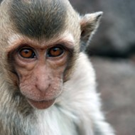 Feds Fine South Texas Research Facility For 13 Primate Deaths in 2014