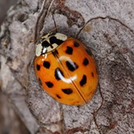Ladybug Look-a-Likes are Invading Texas