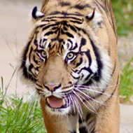 San Antonio Zoo debuts new tiger