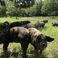 San Antonio chefs to hold fundraiser for sustainable hog farm, including virtual tour, wine and carnitas