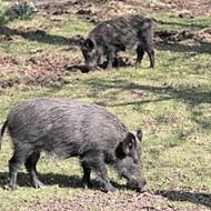 "Sid Miller Wants to Unleash a ""Hog Apocalypse"""