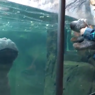 An Insanely Cute 2-Year-Old Hippo Just Debuted at the San Antonio Zoo