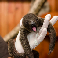 What Should This Baby Sloth Be Named?