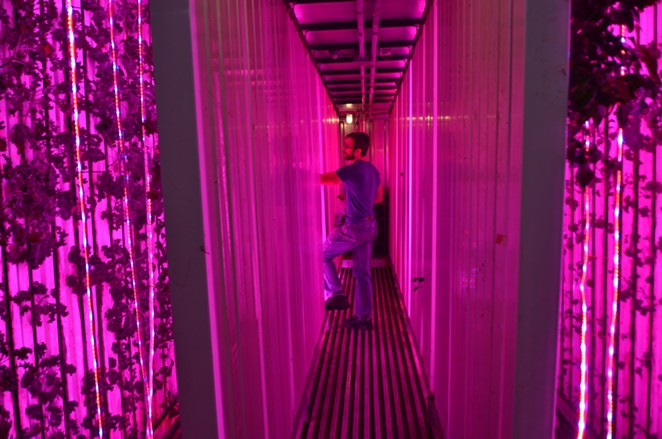 Local Sprout founder Mitch Hagney examines produce growing inside his East Side warehouse. - LEA THOMPSON