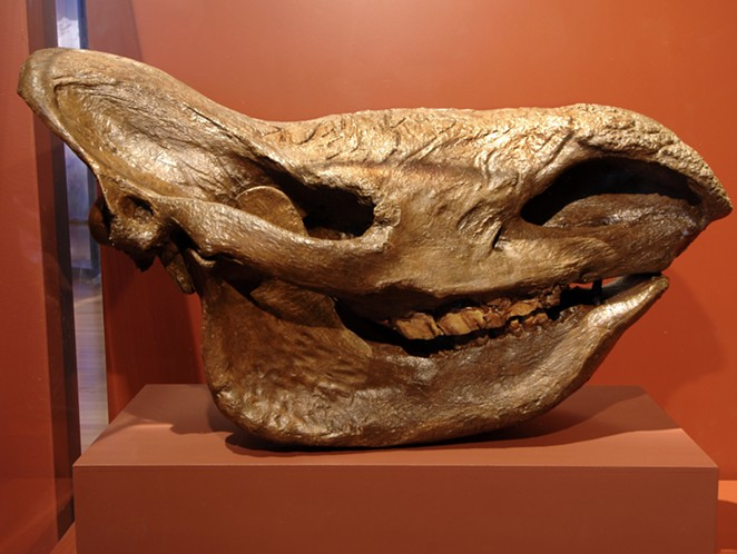 A cast of a woolly rhinoceros (Coelodonta antiquitatis) skull - COURTESY OF THE WITTE MUSEUM