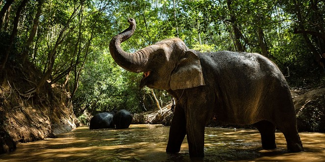 An elephant at the Kulen Forest Sanctuary - COURTESY OF SAN ANTONIO ZOO