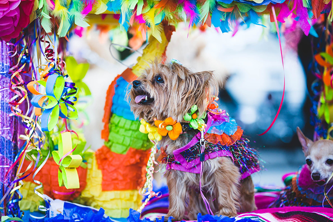 Fiesta traditions like El Rey Fido continue via livestream technology. - FACEBOOK / SAN ANTONIO HUMANE SOCIETY