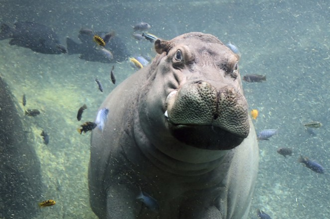 One of the zoo's beloved hippos takes a swim. - COURTESY OF SAN ANTONIO ZOO