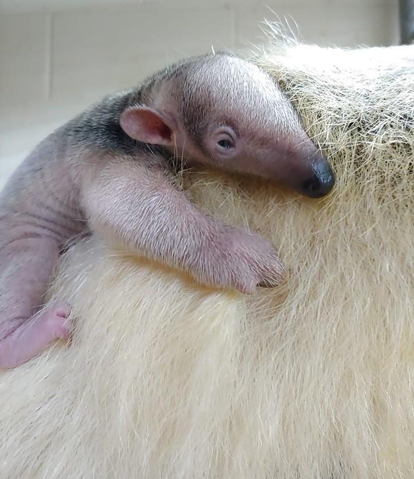 The zoo's new baby tamandua hangs out on mom's back. - COURTESY OF SAN ANTONIO ZOO
