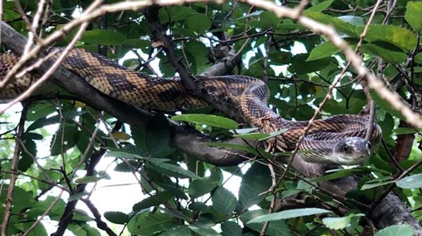 A Texas rat snake photographed on the South Side of San Antonio. - JOE WEBB