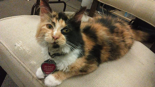 """This is Miss Isabella """"Bella"""" Francisca Veramendi, the official Alamo cat. - TEXAS GENERAL LAND OFFICE"""