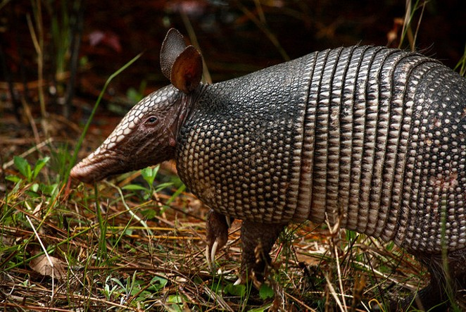 The armadillo: a gentle, voracious and bulletproof creature. - VIA FLICKR USER LAUREN MITCHELL
