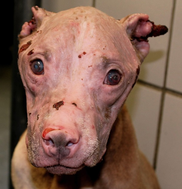 ACS is investigating who doused Rosie, a pit bull, with hydrochloric acid, disfiguring her face. - ANIMAL CARE SERVICES