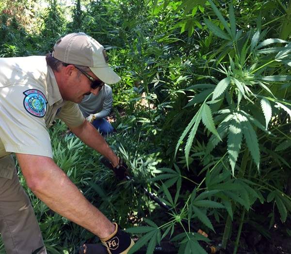 Texas game wardens destroy $6 million worth of marijuana. - COURTESY TPWD