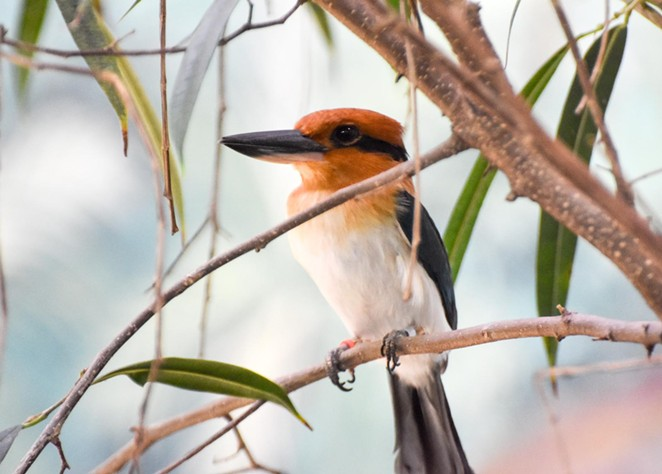 The zoo's conservation efforts include a breeding program for Micronesian kingfishers. - COURTESY OF SAN ANTONIO ZOO