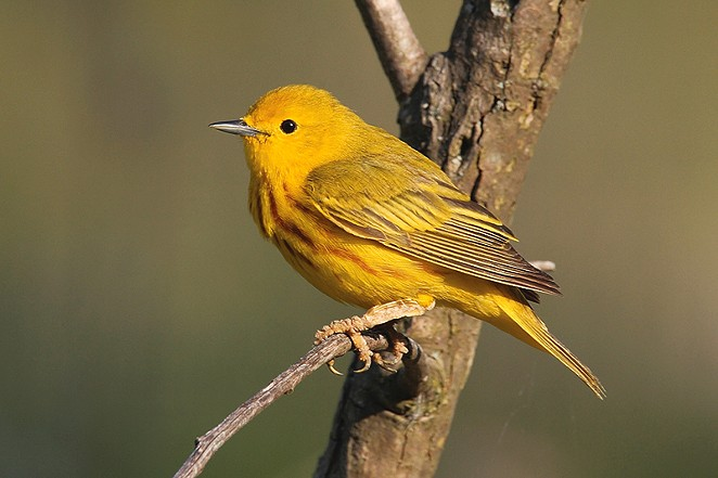 The yellow warbler is one of the birds whose range has expanded in recent years.