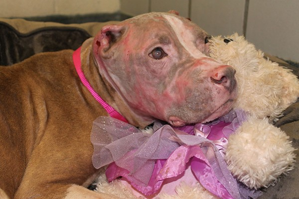 Rosie the pit bull recovers after being doused with acid in July. - COURTESY