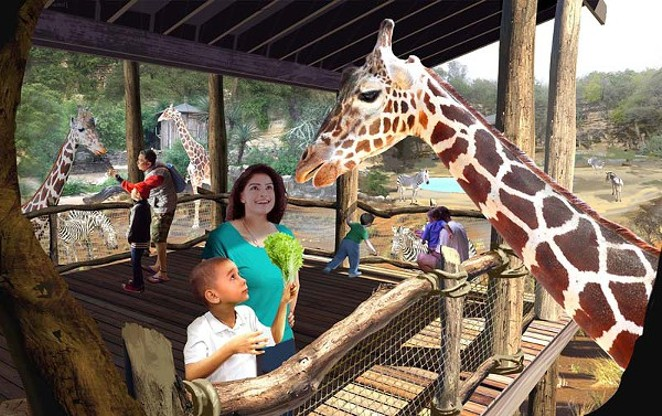 Bringing your beer to the new San Antonio Africa Live! exhibit might not be the best idea. Those giraffes might try to steal your drink. - COURTESY