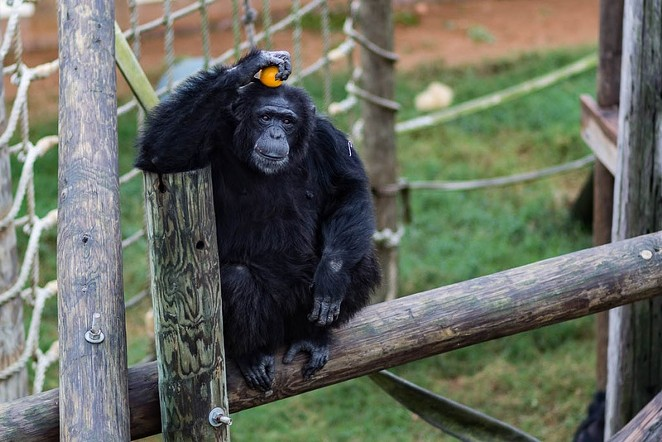 In November, the National Institutes of Health announced it would no longer support biomedical research on chimpanzees, which means the nearly 160 federally-owned chimps in Texas will be retired to sanctuaries. - SHELBY KNOWLES