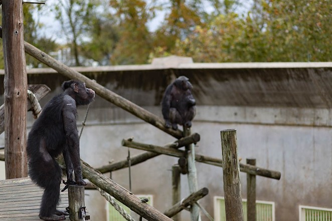 Chimpanzees waiting to be fed lunch, which is usually a combination of different fruits. - SHELBY KNOWLES