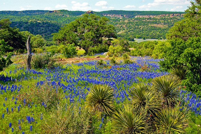 Bluebonnets are a common sight in the Texas Hill Country. - FLICKR CREATIVE COMMONS/JERRY AND PAT DONAHO