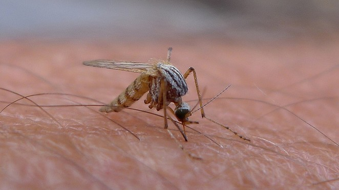 Mosquitoes in Central and South America are transmitting the Zika virus. - FLICKR CREATIVE COMMONS