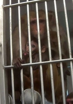 The animal right's group Stop Animal Exploitation Now (SAEN) acquired records showing seven animals have died at the Texas Biomedical Research Institute in three years. - THE HUMANE SOCIETY