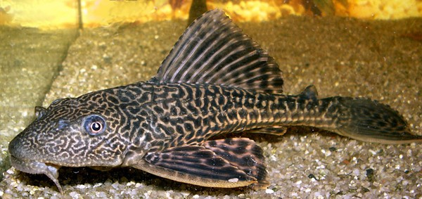 A suckerfish, also known as Hypostomus plecostomus, was found in a Southeast Side apartment. - WIKIMEDIA COMMONS