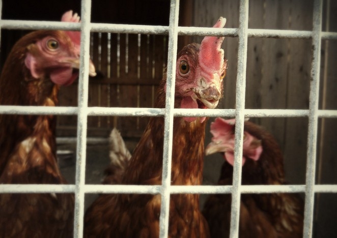 Be free, chickens. - FLICKR CREATIVE COMMONS