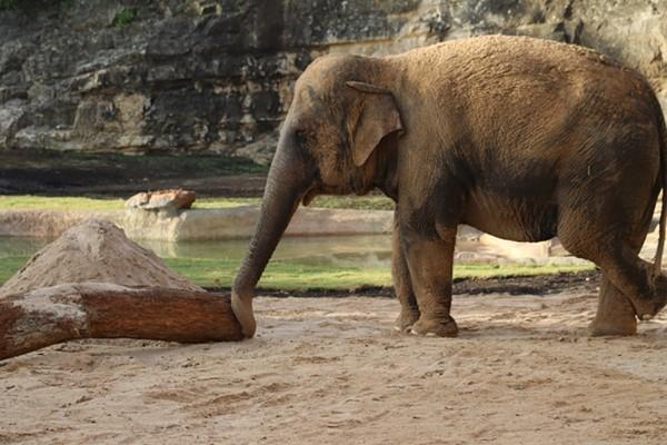 This is Nicole. The San Antonio Zoo's new elephant. - SAN ANTONIO ZOO