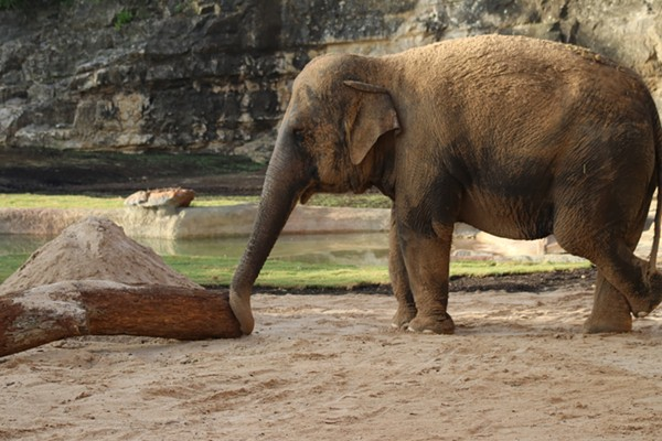 This is Nicole. The San Antonio Zoo's new elephant. - SAN ANTONIO ZOO